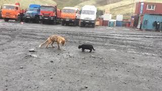 Лиса против котика