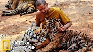 Храм тигров (National Geographic)