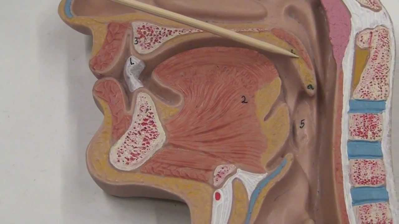 Simple Diagram Of The Urinary System Digestive System Flat Model 2 Youtube