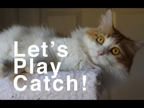 Piper the Maine Coon Cat Plays Catch