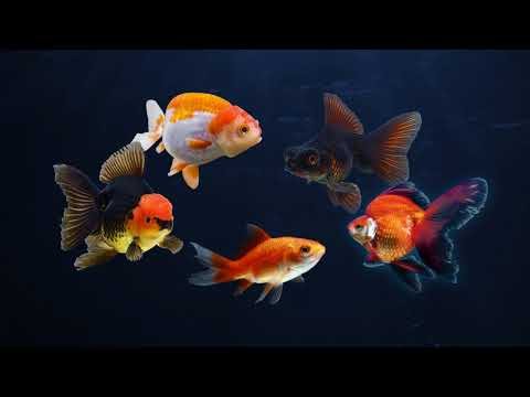 Introducing The Tetra® Brand Goldfish Program
