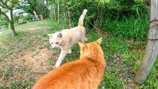 猫ハウスから出てこないお友達猫を呼びに行く茶トラ猫