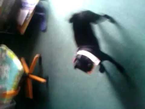 Vader Pug having some fun