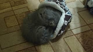 Сибирская кошка. Котенку 1 месяц и 7 дней.