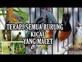 Terapi Semua Burung Macet Dalam  Hari Akan Bunyi Denger Suara Burung Ini  Mp3 - Mp4 Download