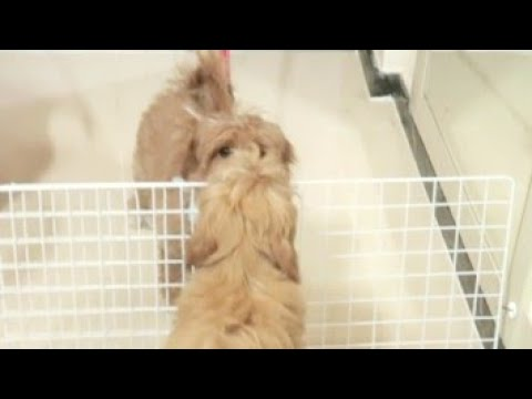 태어나서 처음 떨어져 보는 아기 강아지 반응!