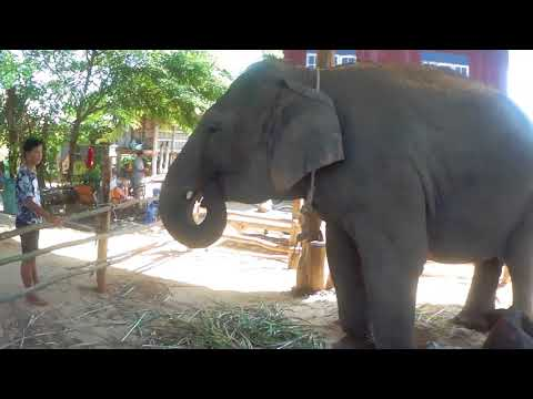 A Very Happy Event In Ban Ta Klang (Elephant Village) Surin, Isaan, Thailand
