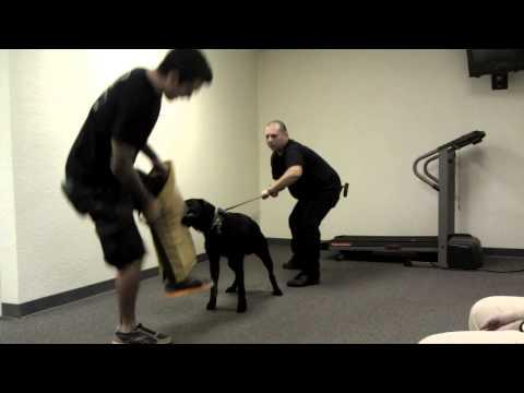 leg-sleeve-work-k9-prince-(a-labrador)-@-sirius-k9-academy