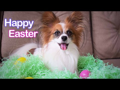 My Dog Goes Easter Egg Hunting (He LOVED it) // Percy the Papillon Dog