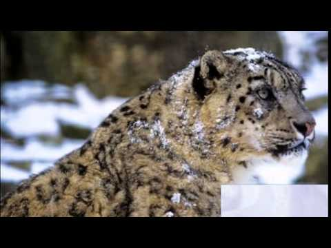 Snow leopards face 'new climate change threat'