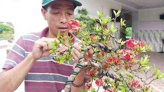 Bonsai mini.tạo thế mới cho trang mẫu đơn đỏ