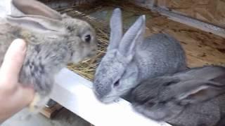 Маточник для кроликов. Сравниваем два варианта