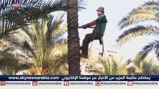 حصاد الزيتون والبلح.. فرص عمل في غزة