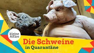 Michael Hatzius – Die Schweine in Quarantäne
