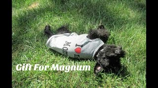 Potty Training Magnum | Schnauzer Playtime | Mail From Viewers