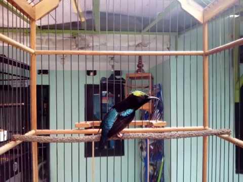 Kolibri Ninja ngobra joget ( maximus )
