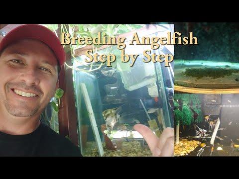 Breeding Angelfish Step By Step