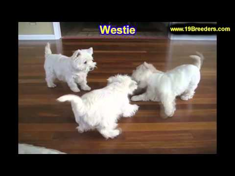 West Highland Terrier, Puppies, For, Sale, In, Kansas City