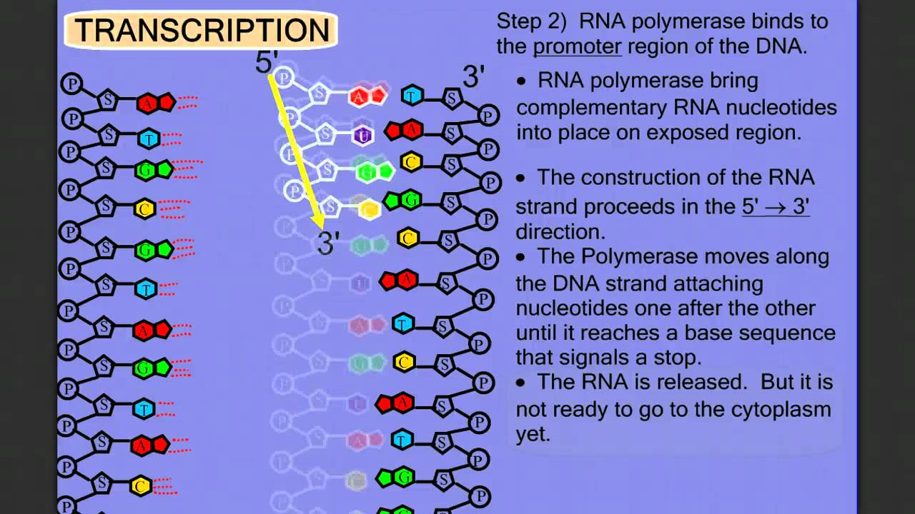 4 Steps Protein Synthesis