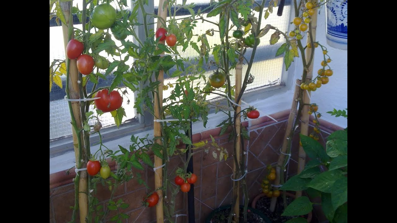 Plantas de tomates en cinco d as ya con frutos parte 2 - Tomates cherry en maceta ...