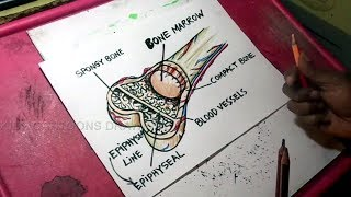 How to Draw Bone Marrow Structure Drawing for kids