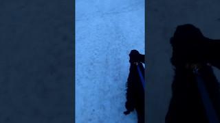 Лиса напала на собаку