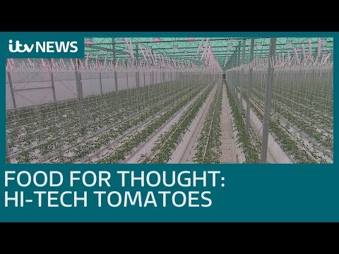 Hi-tech tomatoes growing in a greenhouse the size of 11 football pitches | ITV News
