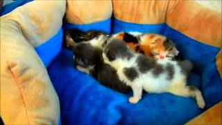 Exotic Shorthair kittens - litter of six - 6 days old