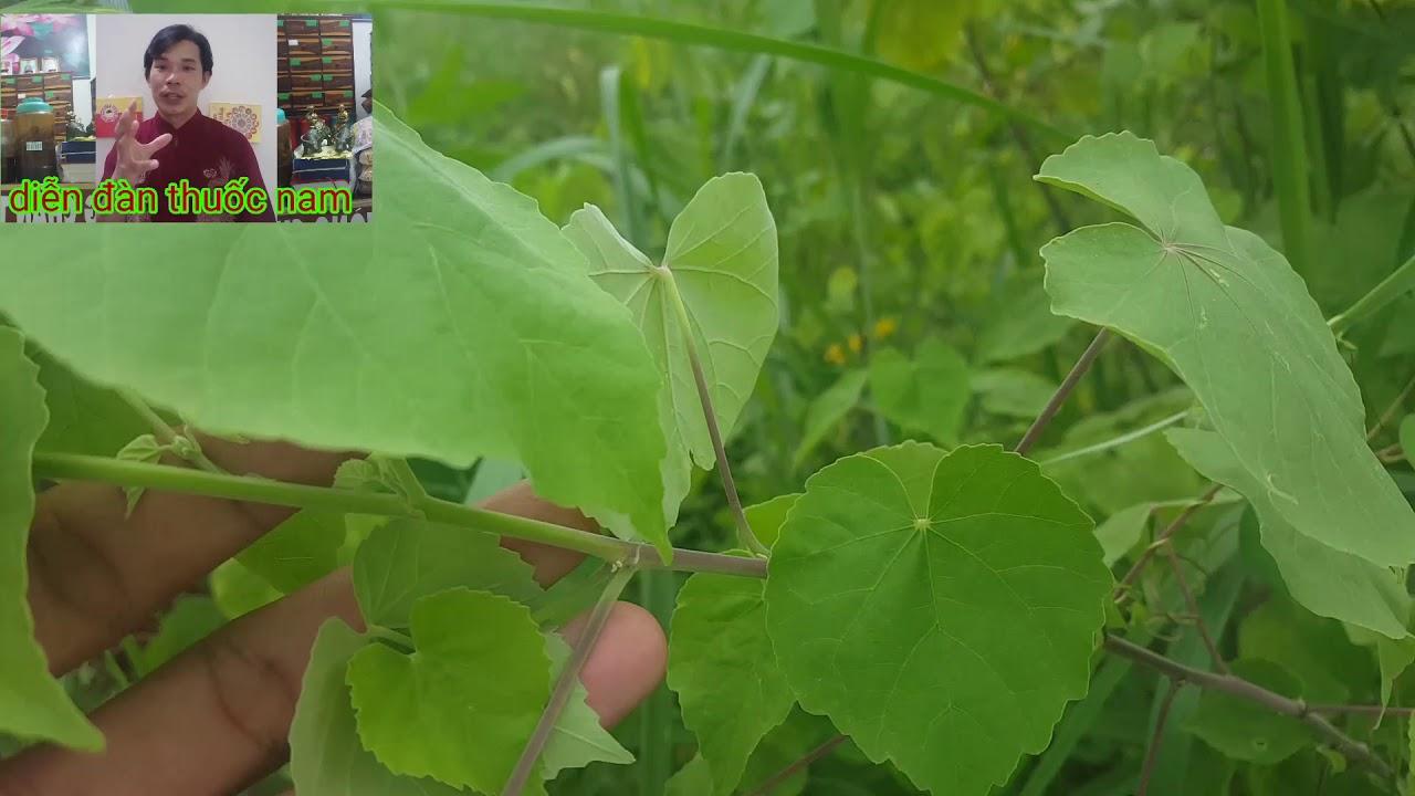 công dụng của cây cối xay – cách giải độc rắn cắn – trị bệnh họ nhiệt – thầy lộc tiên sinh