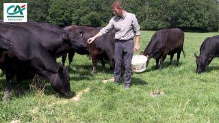 Élevage de Black Angus dans les Ardennes