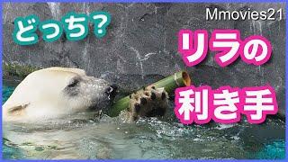 遊びで分かるホッキョクグマ【リラ】の利き手 【デナリ】の足裏の毛の長さ比較 Polar Bears Life