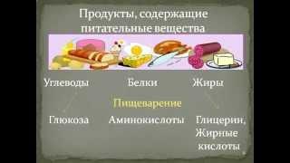 Строение и функции пищеварительной системы.AVI
