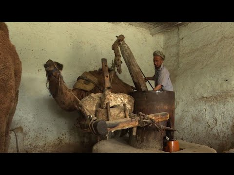 Camel power turns sesame into precious oil in Afghanistan