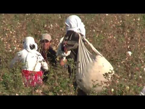 Cotton Fields Samarkand Travel Guide Silk Road Tours & Travel Uzbekistan #silkroad
