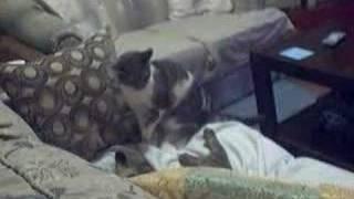 Pheobie Cat attacking Toby thumbnail