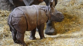 Rare Baby Rhino Takes First Wobbly Steps With The Help Of Her Mother