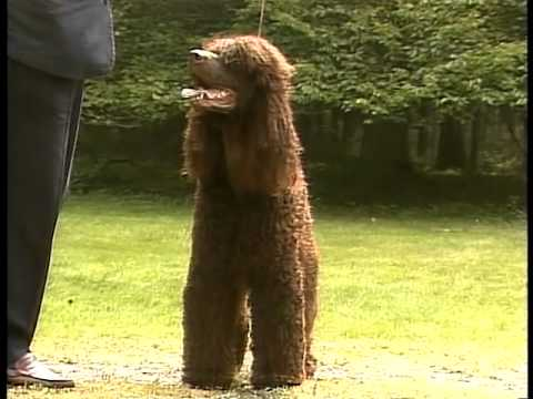 Irish Water Spaniel - AKC Dog Breed Series