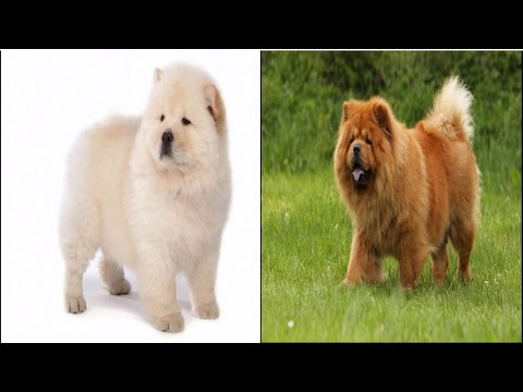 What to feed a Chow Chow Dog