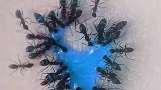 Ants drinking liquid candy (Time Lapse)