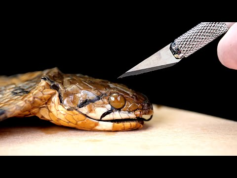 WE DISSECT POISONOUS DEAD COBRA. WHAT IS INSIDE THE POISONOUS COBRA GLANDS? THROUGH THE MICROSCOPE