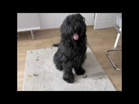 Funniest Dog Trick, Elliot the Briard, do you have fleas? (scratch on cue)
