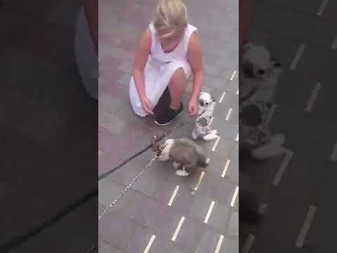 Billy as a puppy meeting strangers.