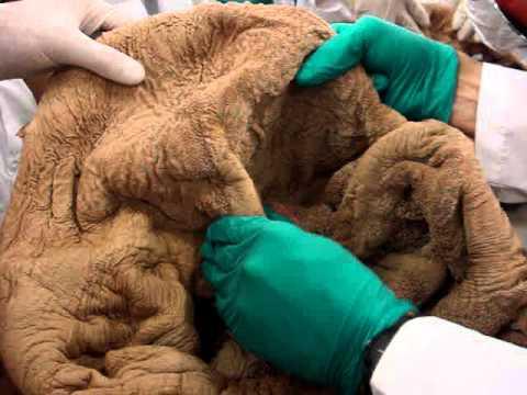 Anatomía vaterinaria de Rumen.MPG