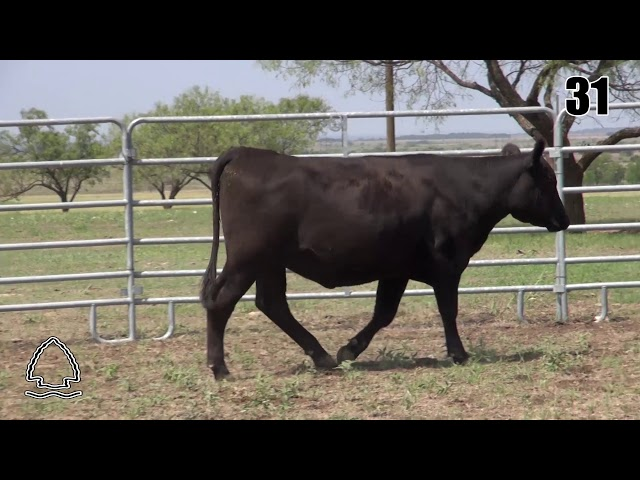 Pearcy Angus Ranch Lot 31