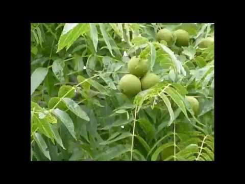 Should You Plant a Black Walnut Tree?