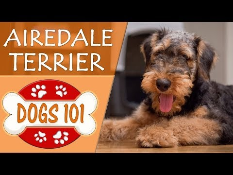 Dogs 101 Airdale Terrier Top Dog