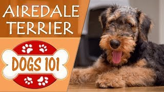 Dogs 101  AIRDALE TERRIER   Top Dog Facts About AIREDALE TERRIERS