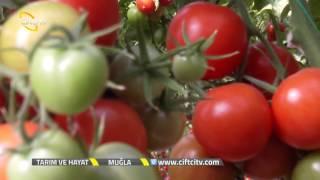 Tarım ve Hayat - Sera Domatesi Yetiştiriciliği