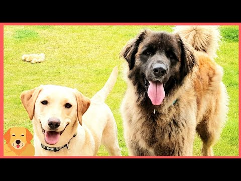 TWO DOGS HAVING ALOT OF FUN TOGETHER #LEONBERGER #DOG #FUNNYDOGS