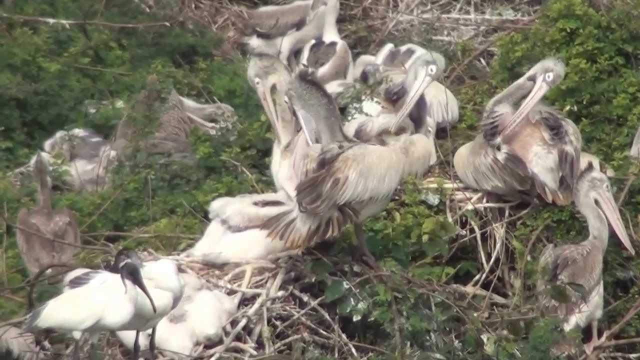 A Pelican Feeding Its Babies Mts Youtube